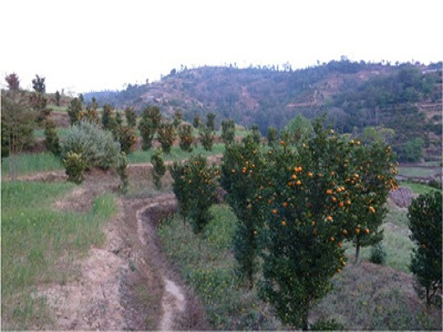 Young Orange Orchard in Fruiting, Sikkim