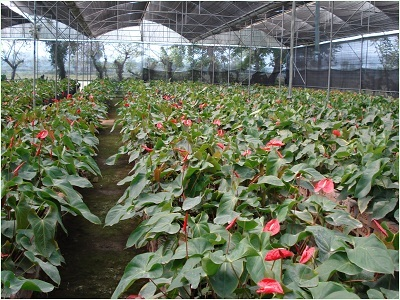 Anthurium Project in Kamrup District, Assam