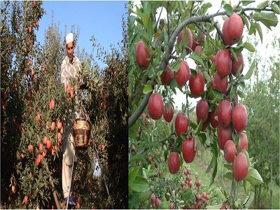 Apples at J & K