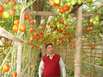 Tomato Cultivation Under Protected Condition in East District, Sikkim
