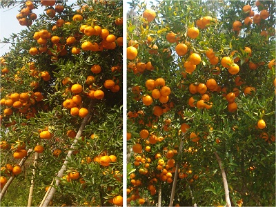 Bumper Harvest of Orange, Nagaland