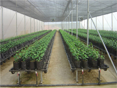 Hi-Tech Nursery for Citrus at Chite Raising of Rootstock (Volkameriana) for Budding (Public Sector), Mizoram