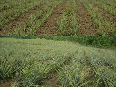 Pineapple Cultivation, Nagaland